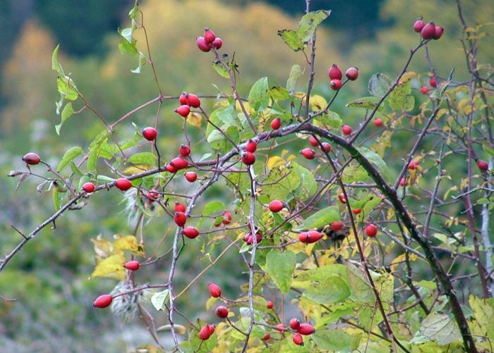 Rosa rugosa veya kuşburnu buruşuk 24