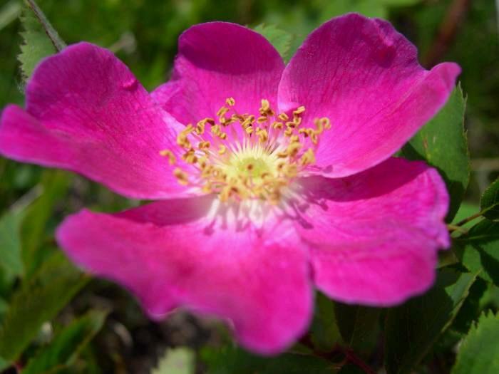 Rosa rugosa veya kuşburnu buruşuk 76