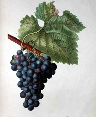 Кованый виноград, виноградная